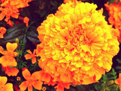 two marigolds 2